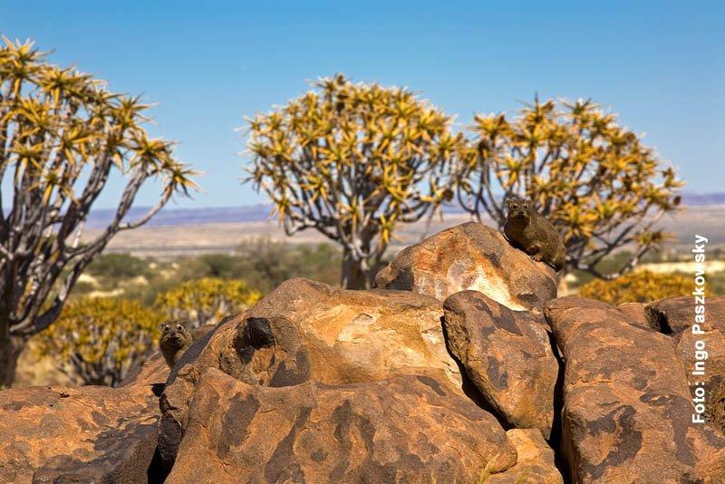 Zwei Klippschliefer halten Ausschau. In Namibia werden die Klippschliefer Rock Dassie (Dussy) genannt. Foto: Ingo Paszkowsky