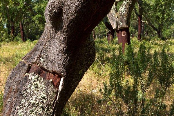 Die meisten Korkeichen wachsen in der Montado-Region Portugals. Foto: Ingo Paszkowsky