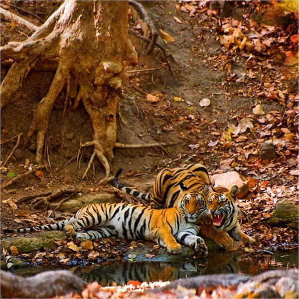 Zwei von rund 1700 Tigern, die derzeit noch in Indien leben. Foto: http://www.incredibleindia.org