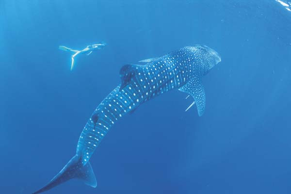 Walhai_Ningaloo Coast_ip