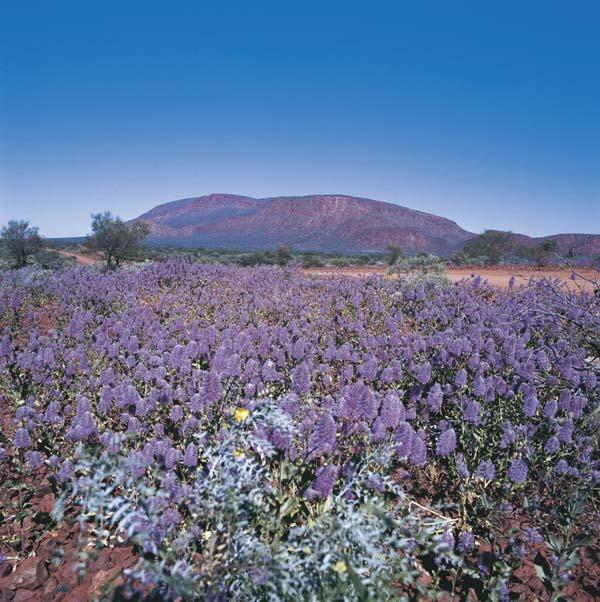 Dafür wird man in der richtigen Jahreszeit nicht nur mit dem Blick auf einen riesigen Felsen belohnt, sondern auch mit einem Blumenmeer. Foto: Western Australia Tourism