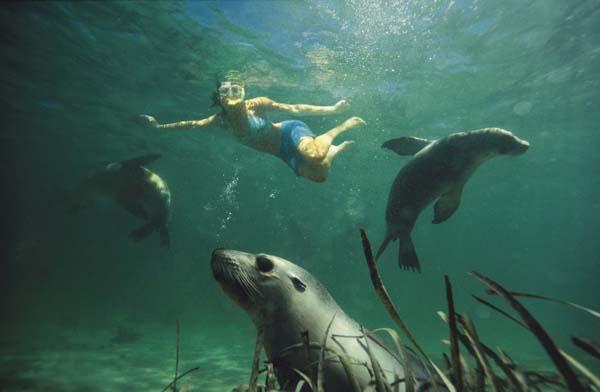 Bei der Eyre Peninsula mit Seelöwen schwimmen... Foto: South Australian Tourism Commission