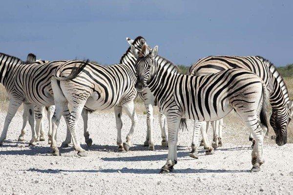 Steppenzebras gibt es reichlich im Etosha National Park in Namibia. Der Etosha Nationalpark gehört aber nicht zum KAZA-Schutzgebiet. Foto: Ingo Paszkowsky