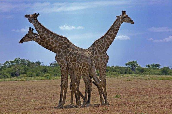 Giraffentrio in Namibia. Foto: Ingo Paszkowsky