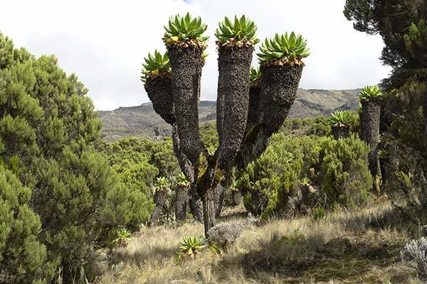 Auf dem Kilimanjaro, Wachstum bis auf ca. 4500m über NN. Foto: Hochschwab/GNU-Lizenz