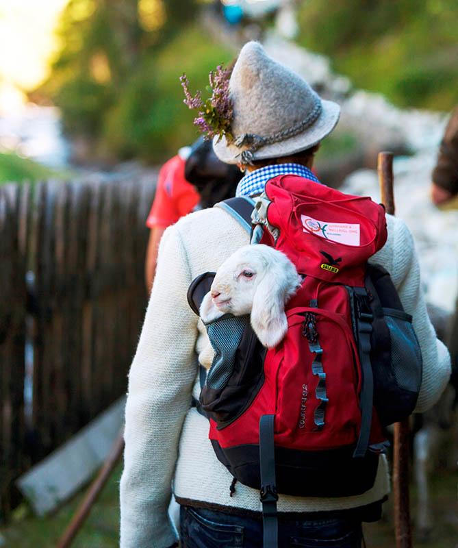 Über 1000 Schafe werden im Herbst in Vinschau ins Tal gebracht, von der Sommeralm. Foto: Vinschgau Marketing / Frieder Blickle