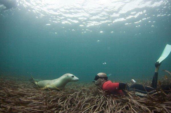 Schwimmen mit Seelöwen, Delfinen und dem Weißen Hai. Foto: South Australian Tourism Commission
