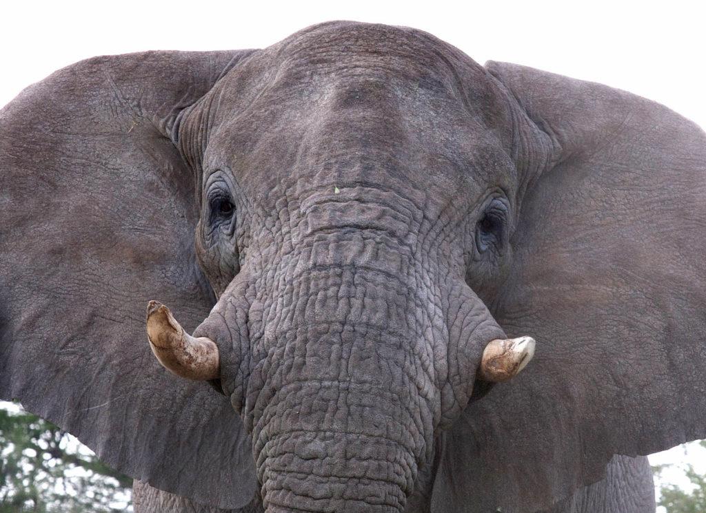 Ein Afrikanischer Elefant im Osten des Etosha National Park