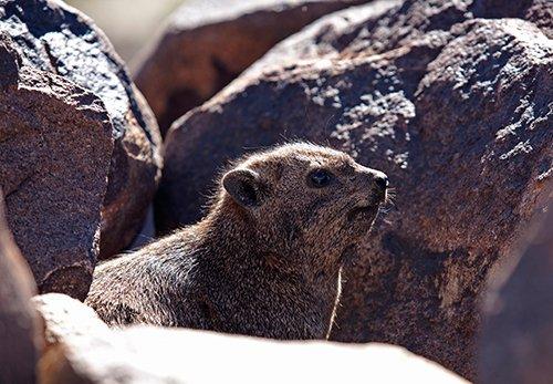 In Namibia werden die Klippschliefer Rock Dassie (Dussy) genannt. Foto: ingo Paszkowsky