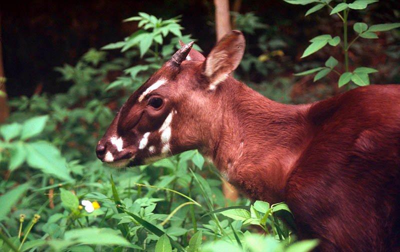 Das seltene Saola-Waldrind. Foto: WWF/David Hulse