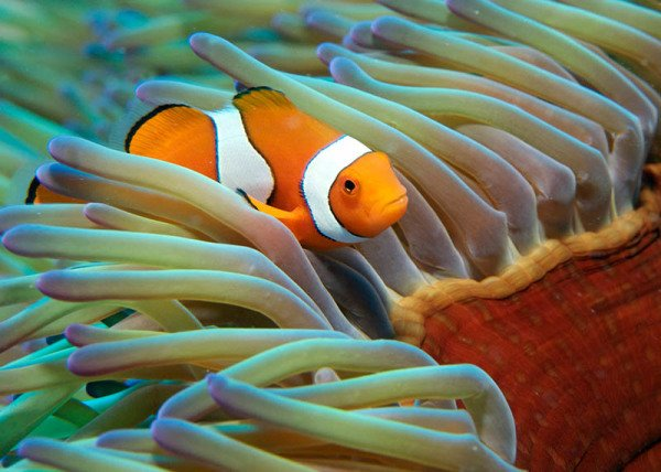 Clownfish (Anemonenfisch). Clownfish (Anemonenfisch)