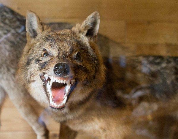 Auch Wölfe gibt es im Djerdap Nationalpark. Der hier ist ausgestopft, hinter einer Glasscheibe. Foto: Ingo Paszkowsky