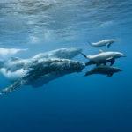 Wer eskortiert hier wen? Buckenwale und Delfine spielen oft miteinander. Foto: IRT / Eric Lamblin