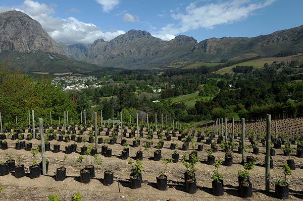 Weinberge, Winelands in Western Cape. Foto: www.dein-suedafrika.de / Frank May