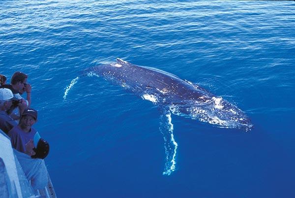 Wer mit den Buckelwalen schwimmen möchte, bucht eine dreistündige Tour, an der maximal 20 Personen mitwirken. Foto: Sunreef