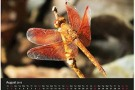 #Libellen Südostasiens – Kalender 2015