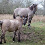 #Berlin: Unter robusten Rindern und wilden Pferden