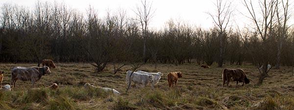 Robuster Rinder in Freilandhaltung in der Nähe von Buch. Foto: Ingo Paszkowsky