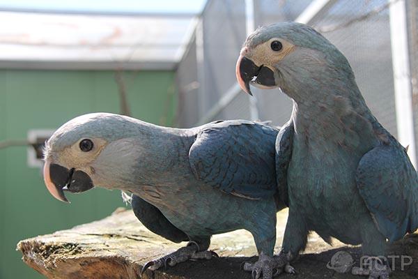 Exemplare der Gattung Spix-Ara sind rar, Männchen sind besonders rar - unter den in Brasilien lebenden zehn Spix-Aras sind lediglich zwei Exemplare männlich. Foto: ACTP
