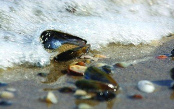 Muscheln im Meer. Foto: NBTC
