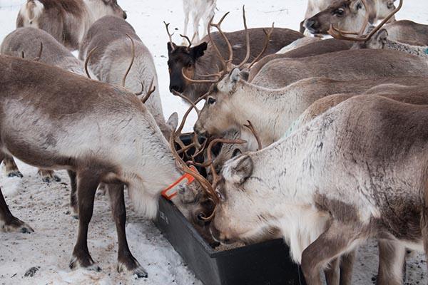 Am Ende des Winters müssen die Rentiere eine Zufütterung erhalten, weil sie die vereiste Schneedecke nicht mehr wegscharren können, um an die Moose zu kommen. Foto: Ingo Paszkowsky