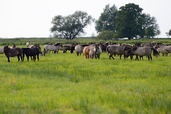 """Konik-Pferde im privaten Reservat """"Odra-Delta Natury Park"""" von Dr. Rabski, in der Nähe von Kopice, Polen. Foto: Staffan Widstrand, Wild Wonders of Europe"""