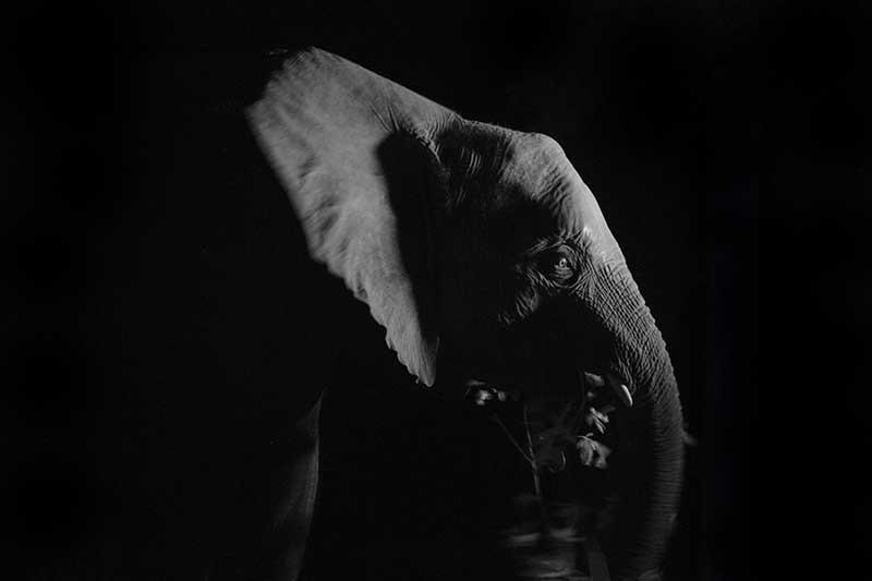 Neueste Studien haben gezeigt, dass afrikanische Elefanten täglich nicht mehr als zwei Stunden Schlaf brauchen. Stattdessen sind die Tiere auch nachts häufig unterwegs und auf Futtersuche. Foto: ZDF / Emre Izat