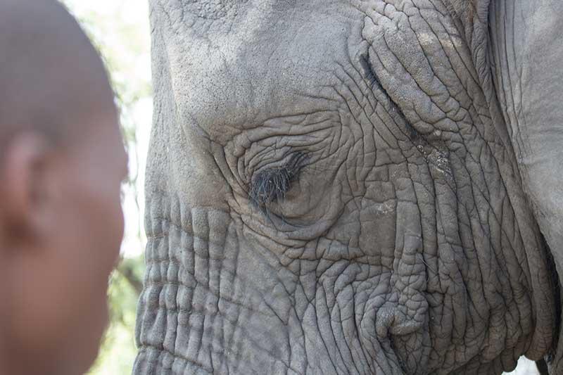 Im Gegensatz zum Menschen haben Elefanten ein eingeschränktes Sehvermögen. Das scheint sie allerdings nicht besonders zu beeinträchtigen. Es gibt sogar Berichte, dass Herden erfolgreich von einer blinden Matriarchin angeführt wurden. Die Tiere orientieren sich vor allem mit Hilfe ihres Rüssels und ihres sehr guten Gedächtnisses. Foto: ZDF / Tom Barton-Humphreys