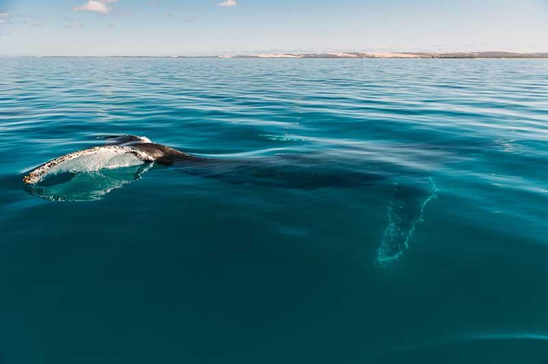 Hier traut man sich schon eher mitzuschwimmen. Buckelwal nahe dem Dirk Hartog Island National Park. Copyright Elements MR
