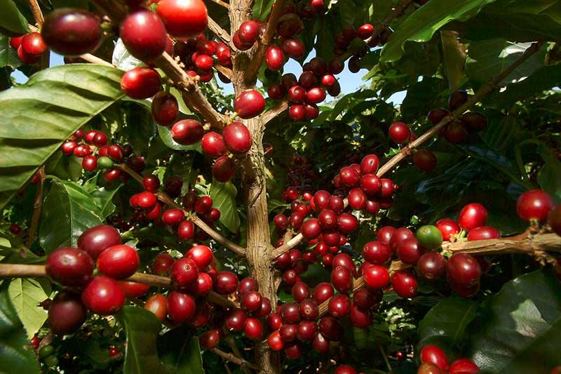 Zentralamerika – Wo der Kaffee wächst. Copyright CATA/KPRN network