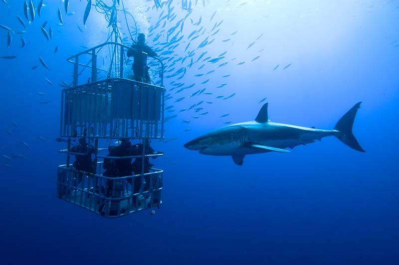 """""""Hautnah"""" mit dem vom Aussterben bedrohten König der Meere. Haitauchen in Guadalupe, Mexiko. Foto: Fun4You Erlebnisgeschenke / Stefan Pircher"""