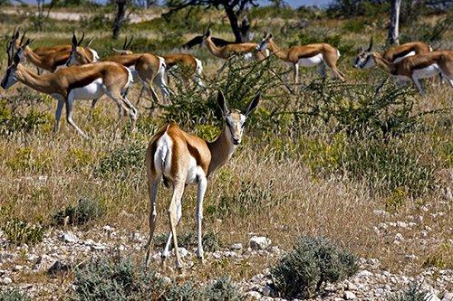 Der Springbock (Antidorcas marsupialis) im Etosha National Park. Copyright: Ingo Paszkowsky