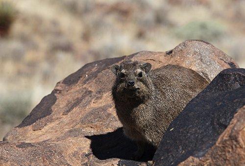 In Namibia werden die Klippschliefer Rock Dassie (Dussy) genannt