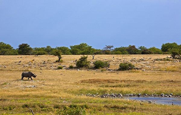 Nashorn in Etosha Nationalpark am Wasserloch. Copyright: Ingo Paszkowsky