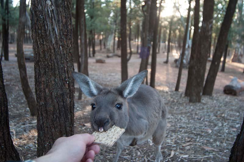 Dieses Wallaby probiert das erste Mal in seinem Leben vorsichtig ein Knäckebrot. Und es schmeckt ihm. Foto: Ingo Paszkowsky