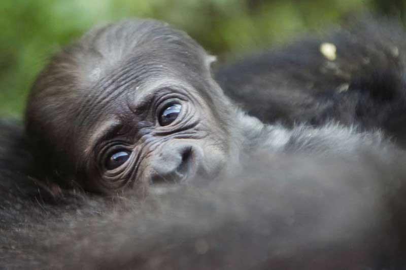 Die Geburt des Jungtieres gibt Tierschützern Hoffnung, denn weltweit gibt es nur noch 880 Tiere dieser seltenen und akut vom Aussterben bedrohten Art. Foto: Uganda Tourism Board