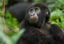 Uganda: Berggorilla-Baby im Bwindi Nationalpark geboren