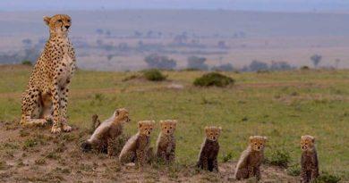 Grandiose Film-Dokumentation: Maleika – das Leben einer Gepardin in der Masai Mara