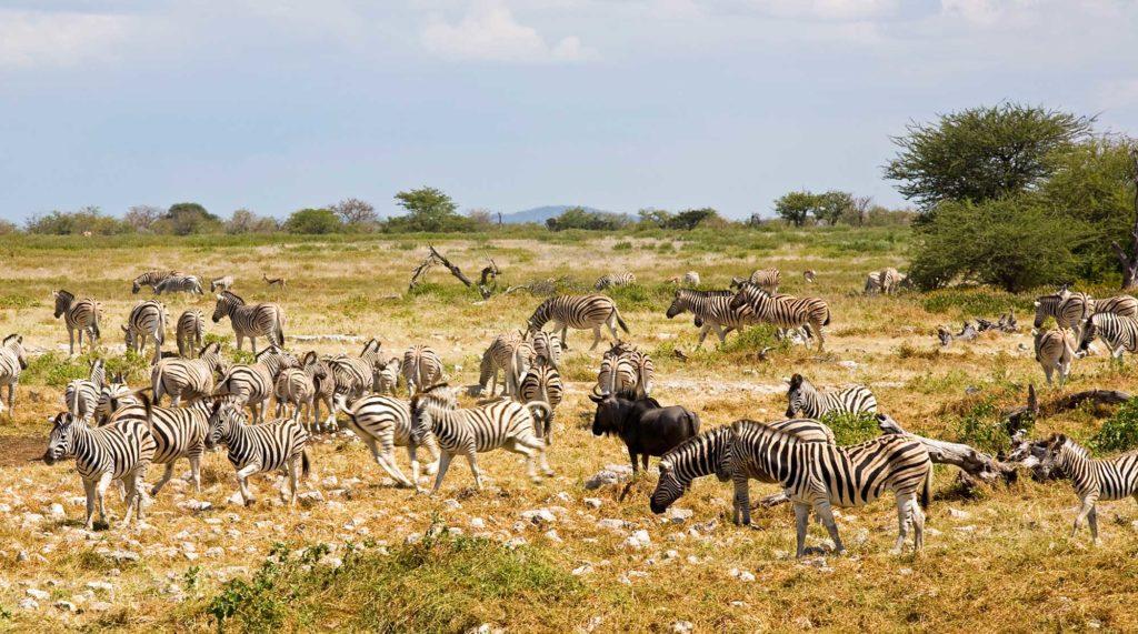 Eine Herde Steppenzebras in der Nähe des Wasserlochs von Okaukuejo im Etosha National Park. Unter die Zebras mischen sich gelegentlich Gnus. Foto: Ingo Paszkowsky