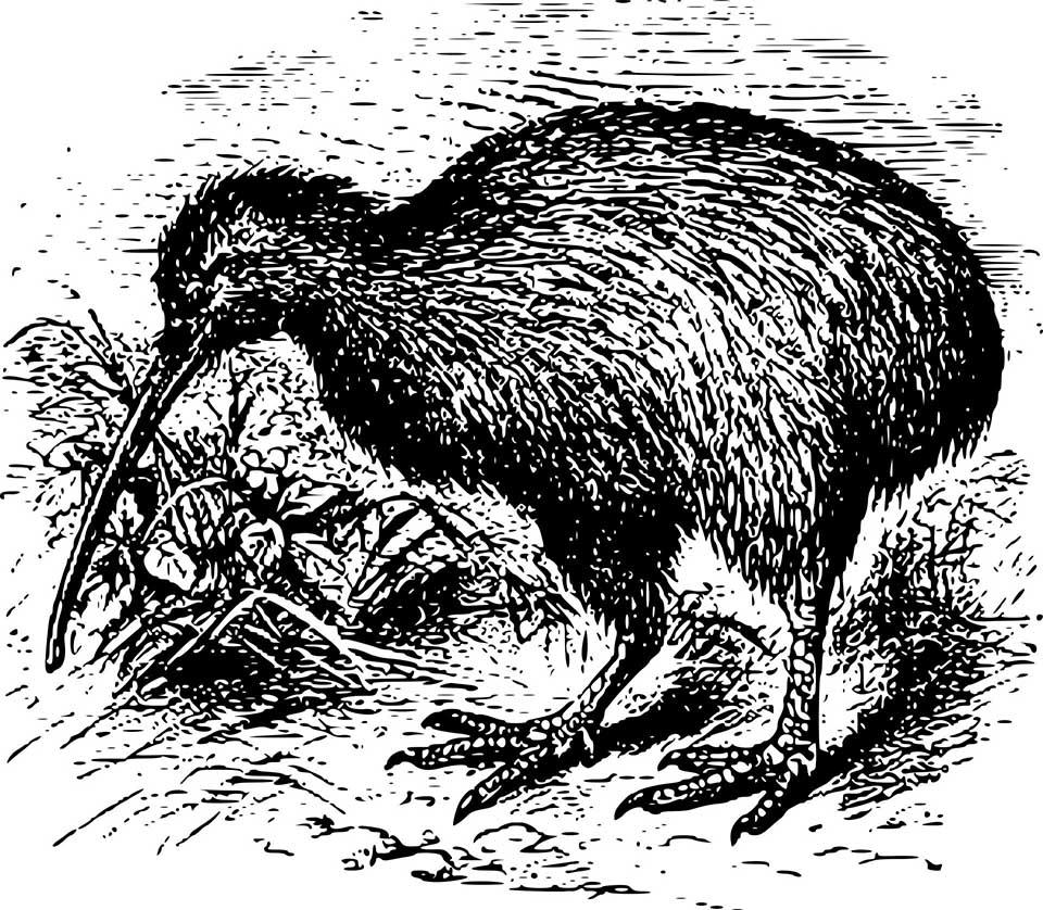 Der Kiwi ist eines der bedeutendsten Nationalsymbole Neuseelands. Grafik: pixabay / OpenClipart-Vectors