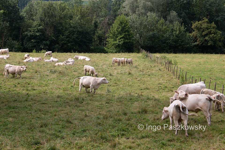 Auf GR 213 A bekommt man reichlich Kühe zu Gesicht.