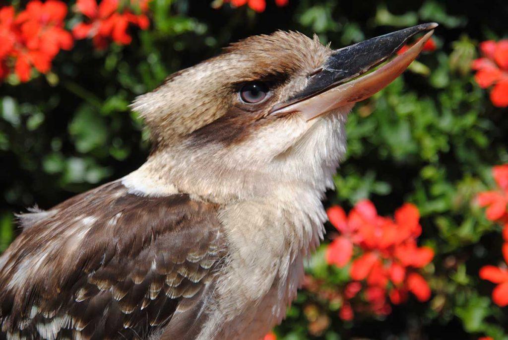Lachender Hans im Vogelpark Walsrode. Foto: WVP