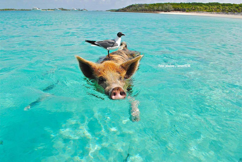 Viele haben vermutlich schon von den schwimmenden Schweinen auf den Bahamas gehört. / Foto: pixabay / larsen9236