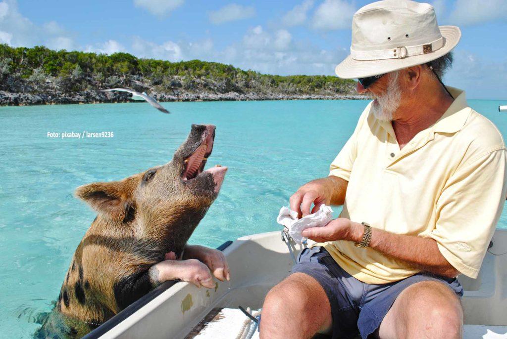 Rund 20 Schweine leben an einem Strand der Bahamas-Insel Big Major Cay und schwimmen in Hoffnung auf Fütterung den Touristenbooten entgegen / Foto: pixabay / larsen9236