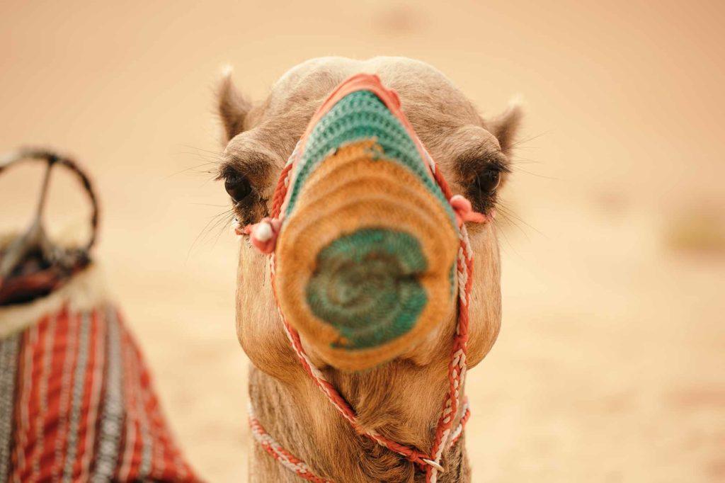 Bist du das schönste Kamel im Land? / © DCT Abu Dhabi