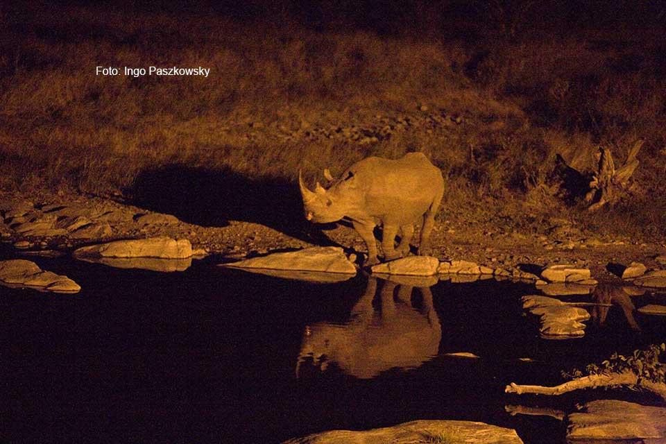 Nächtliche Begegnung am Moringa-Wasserloch in Halali im Etosha National Park. Foto: Ingo Paszkowsky