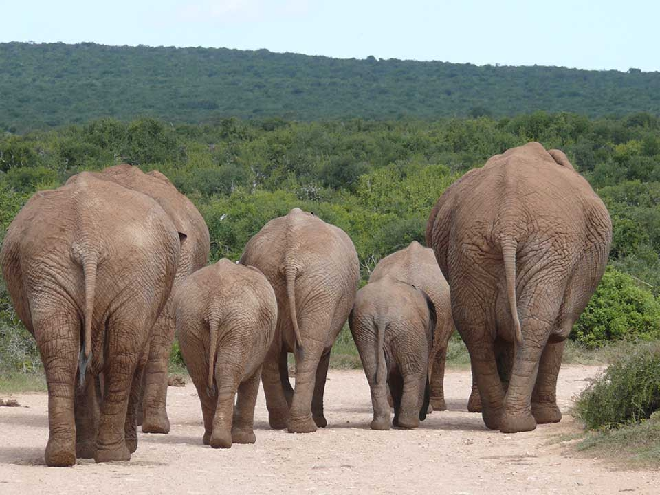 Elefantenherde. Und tschüss. Foto: pixabay / MartinFuchs