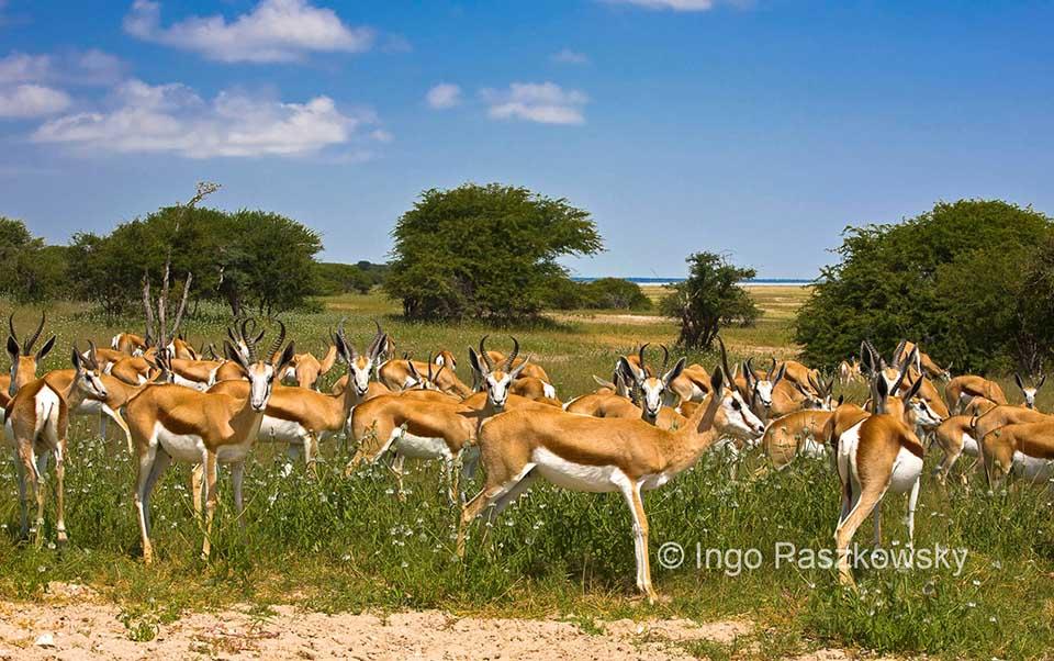 Springböcke treten oft in größeren Herden auf