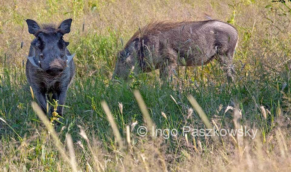 Warzeschweine in Etosha. Foto: Ingo Paszkowsky