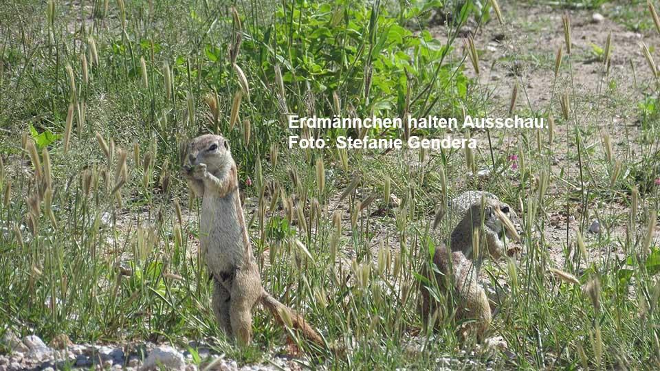 Erdmännchen halten Ausschau. Foto: Stefanie Gendera